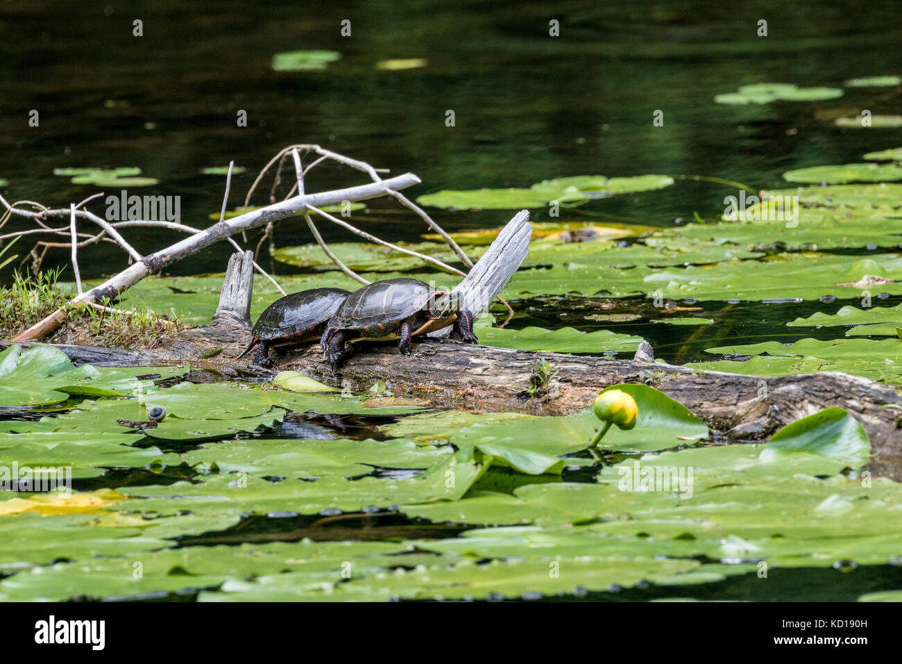 Midland Painted Turtles (Chrysemys picta marginata) sunning in the Pinery Provincial Park, Ontario, Canada - Stock Image