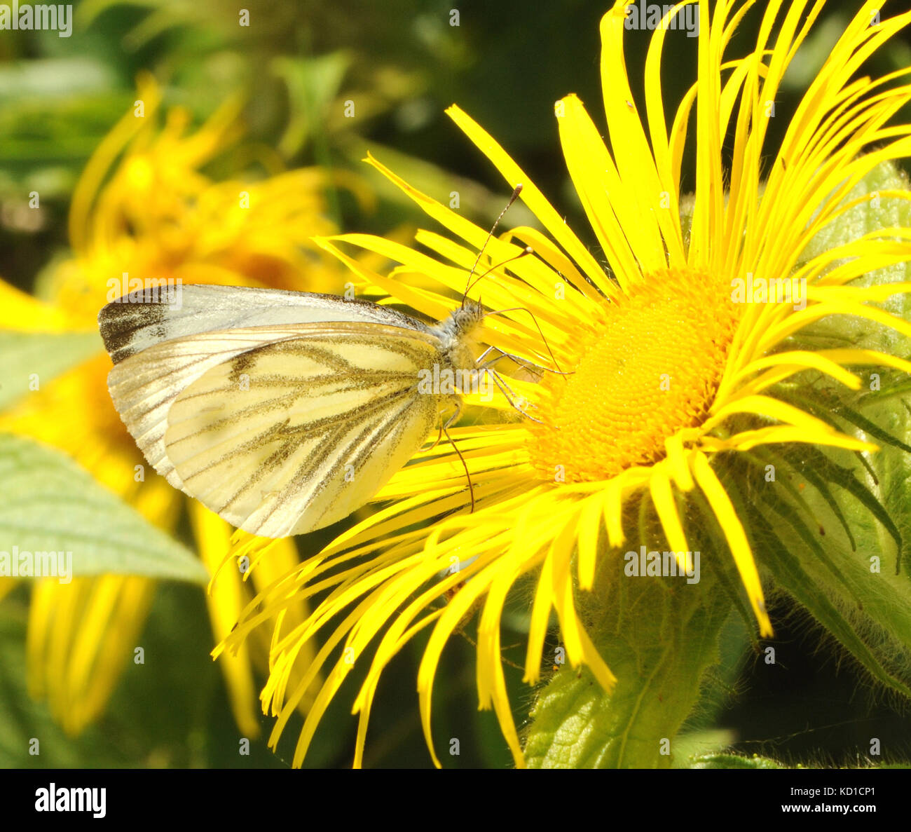 A  green veined white(Pieris napi) butterfly feeds on the nectar of a yellow  Inula hookeri flower. Bedgebury Forest, - Stock Image