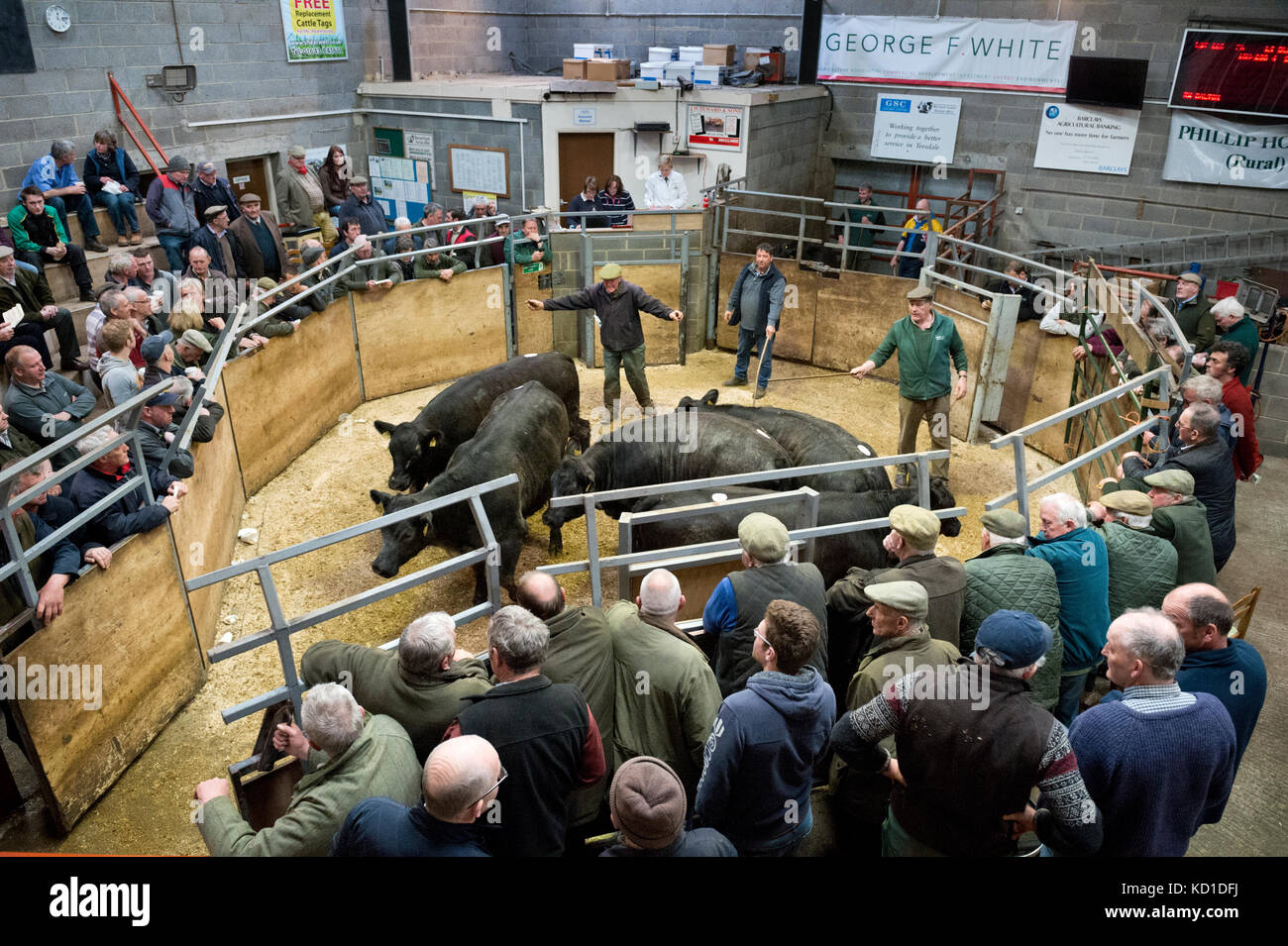 Auctioning cattle in the ring at Barnard Castle Auction Mart, County Durham, UK - Stock Image