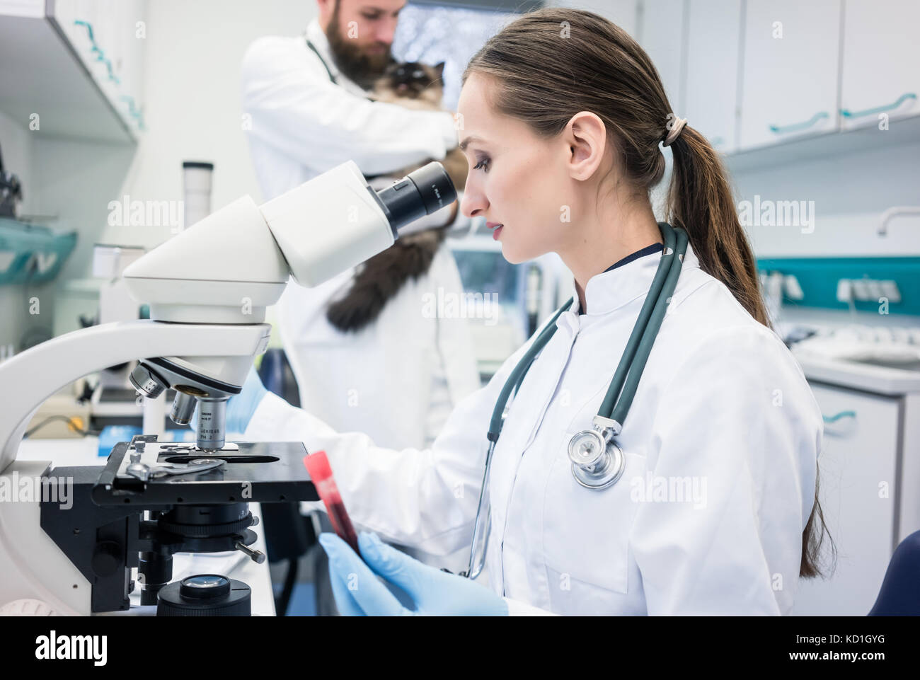 Lab assistant and veterinarian examining tissues sample from a c - Stock Image