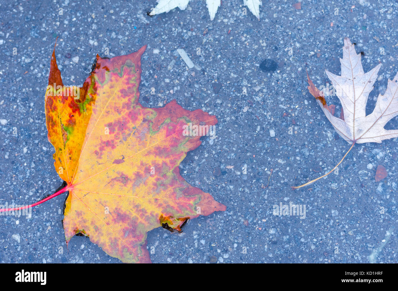 Autumn maple leaf. Autumn foliage. Leaf in a puddle. Autumn background. Stock Photo