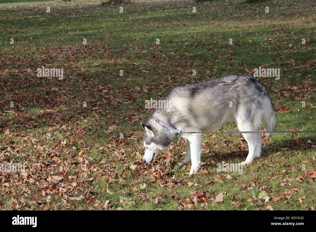 A Siberian Husky Wolf Dog Malamute Sled Dog in the country outside on a nice Autumn fall day - Stock Image
