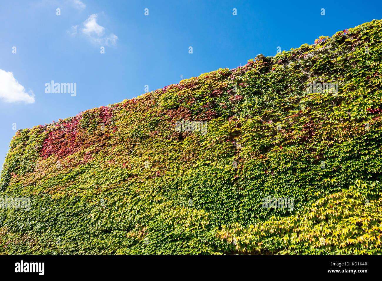 Boston Ivy (parthenocissus tricuspidata) covered building, Churchill College, University of Cambridge, UK - Stock Image
