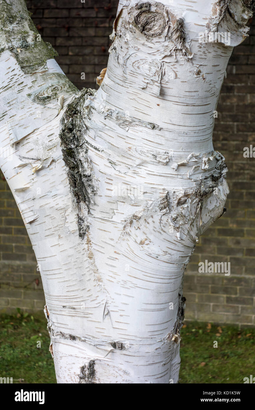 Close up of Betula ermanii, gold birch, Erman's birch planted 1975 at Churchill College, Cambridge, UK - Stock Image