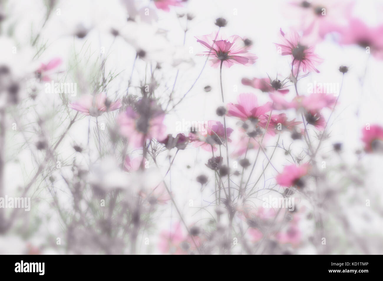 Pink Flowers With Soft And Blurry White Background Dreamy Effect