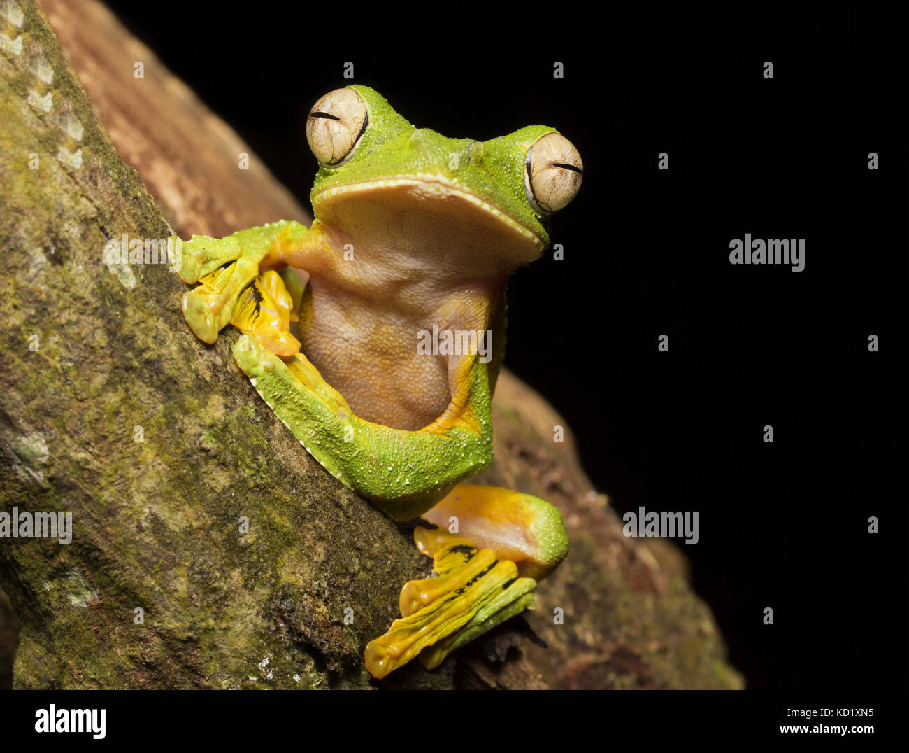 Wallace Flying Frog Stock Photo