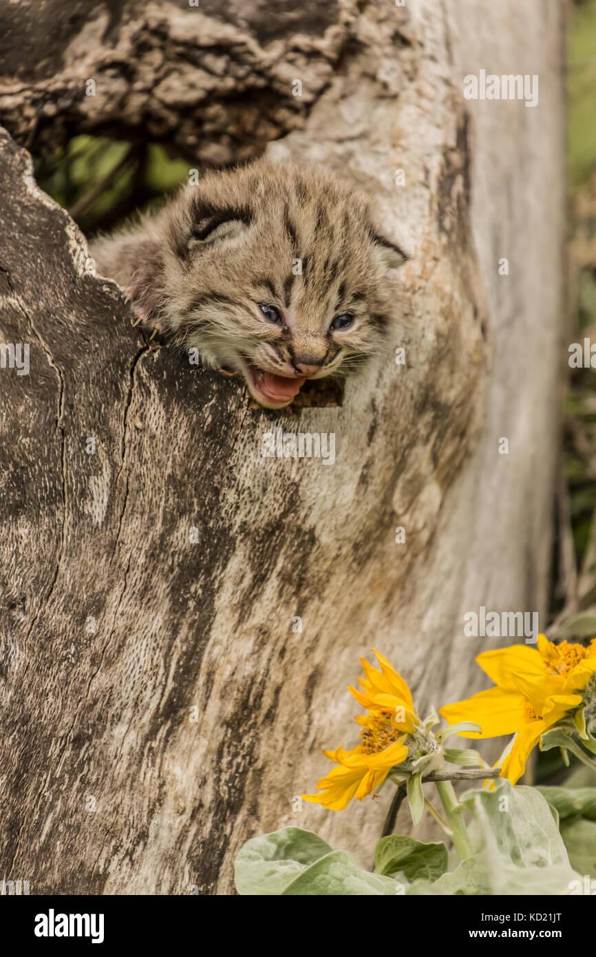 Baby bobcat in a hollow log with Mules Ear wildflowers near Bozeman, Montana, USA.  Captive animal. Stock Photo