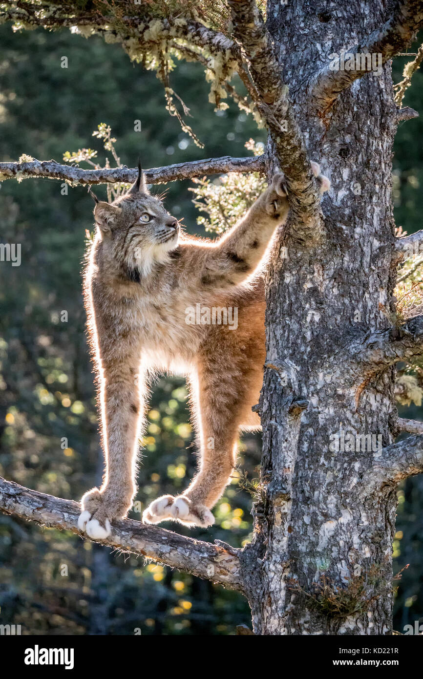 Adult Canada Lynx climbing in a tree, showing what big paws it has, near Bozeman, Montana, USA.  They are equipped - Stock Image
