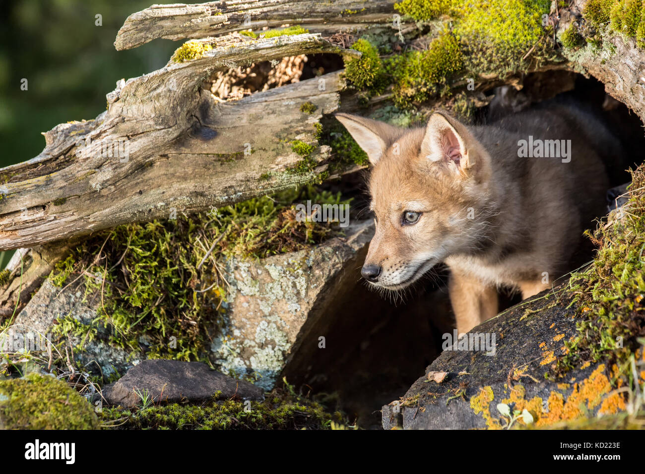 Gray Wolf pup standing in his den entrance near Bozeman