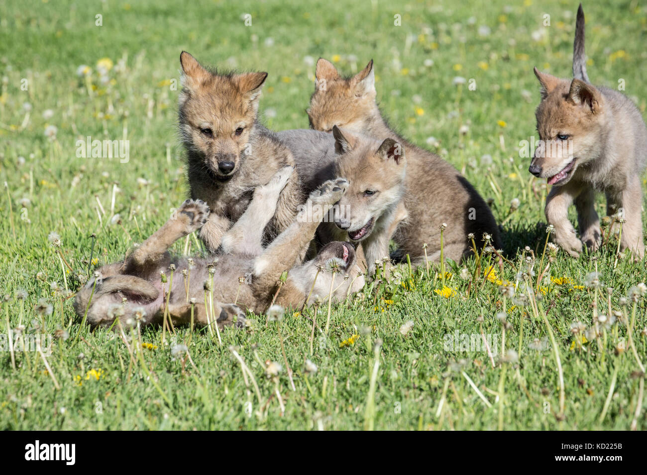 Litter of Gray Wolf pups play fighting in a meadow, near