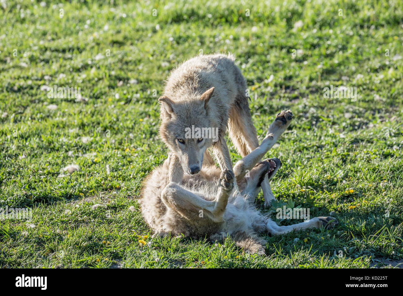Two Adult Gray Wolves trying to establish dominance as they wrestle in a meadow, near Bozeman, Montana, USA.  Captive - Stock Image