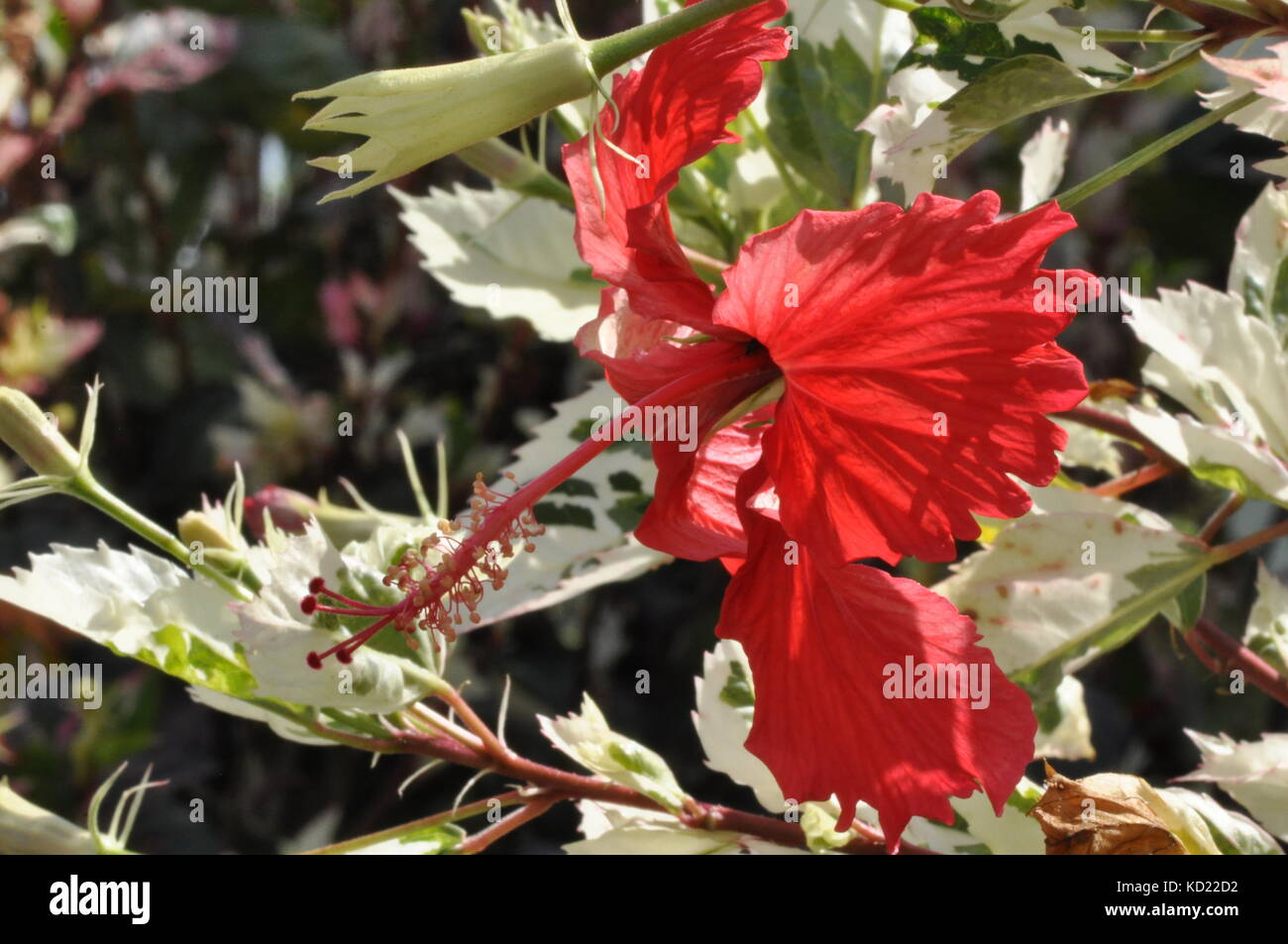 Variegated Hibiscus Stock Photos Variegated Hibiscus Stock Images