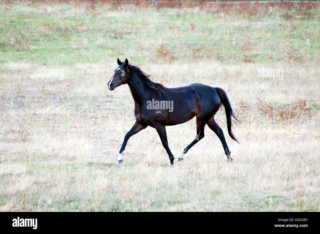 Thoroughbred horse in a paddock near the Glenelg River outside Casterton, western Victoria, Australia - Stock Image