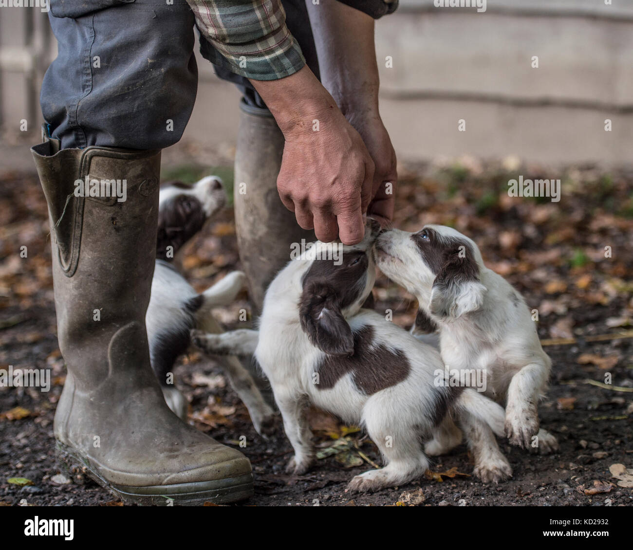 breeder with spaniel puppies - Stock Image