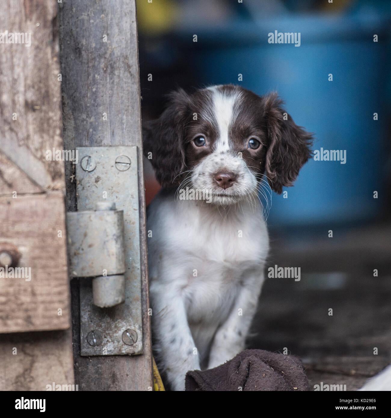 english springer spaniel puppy peeping around a barn door & english springer spaniel puppy peeping around a barn door Stock ...