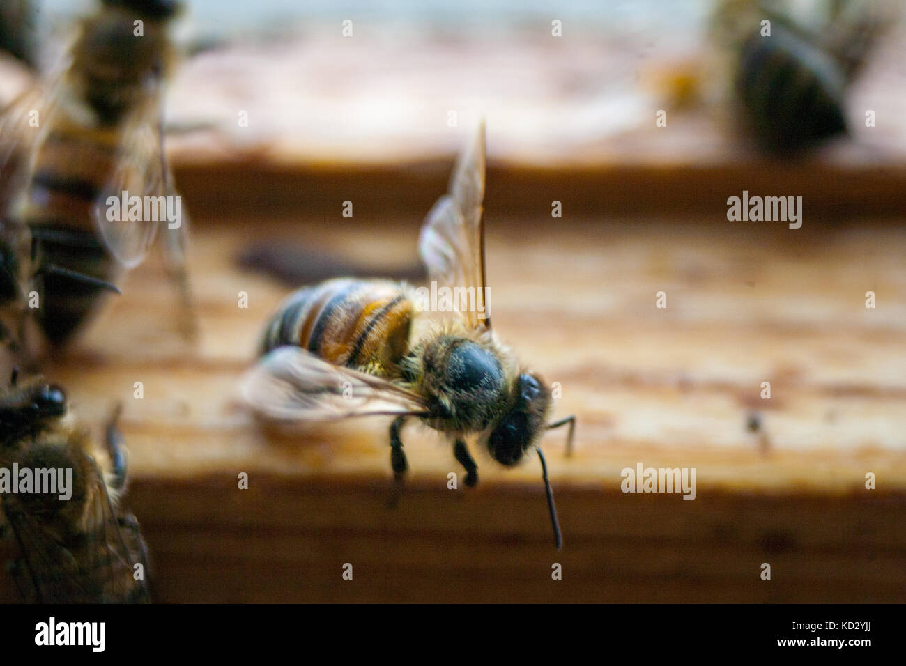 Bees working the carpathian breed close-up - Stock Image