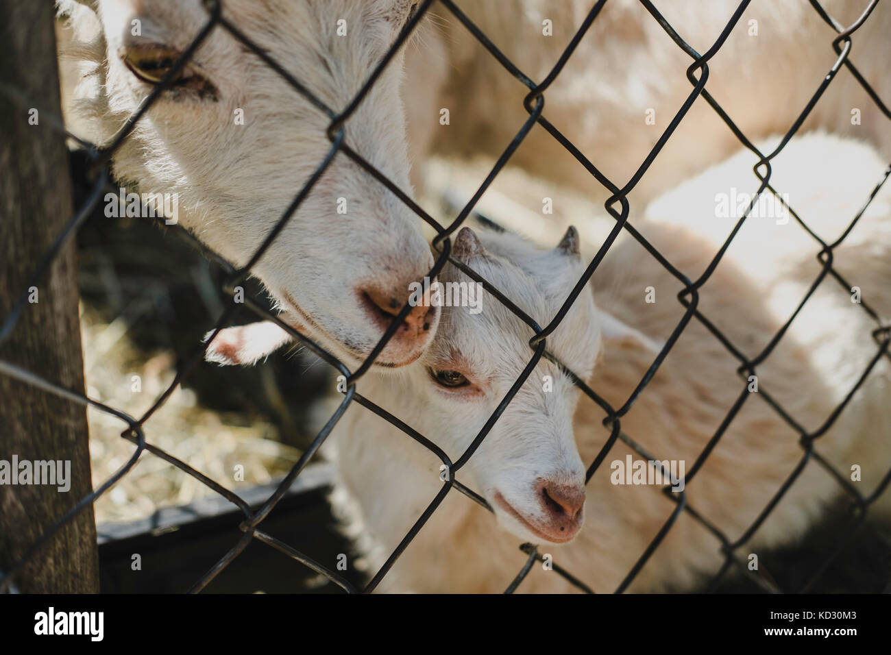 Mother goat and kid at wire fence - Stock Image