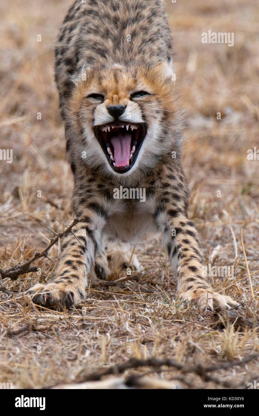 Cheetah cub (Acinonyx jubatus), Masai Mara, Kenya - Stock Image