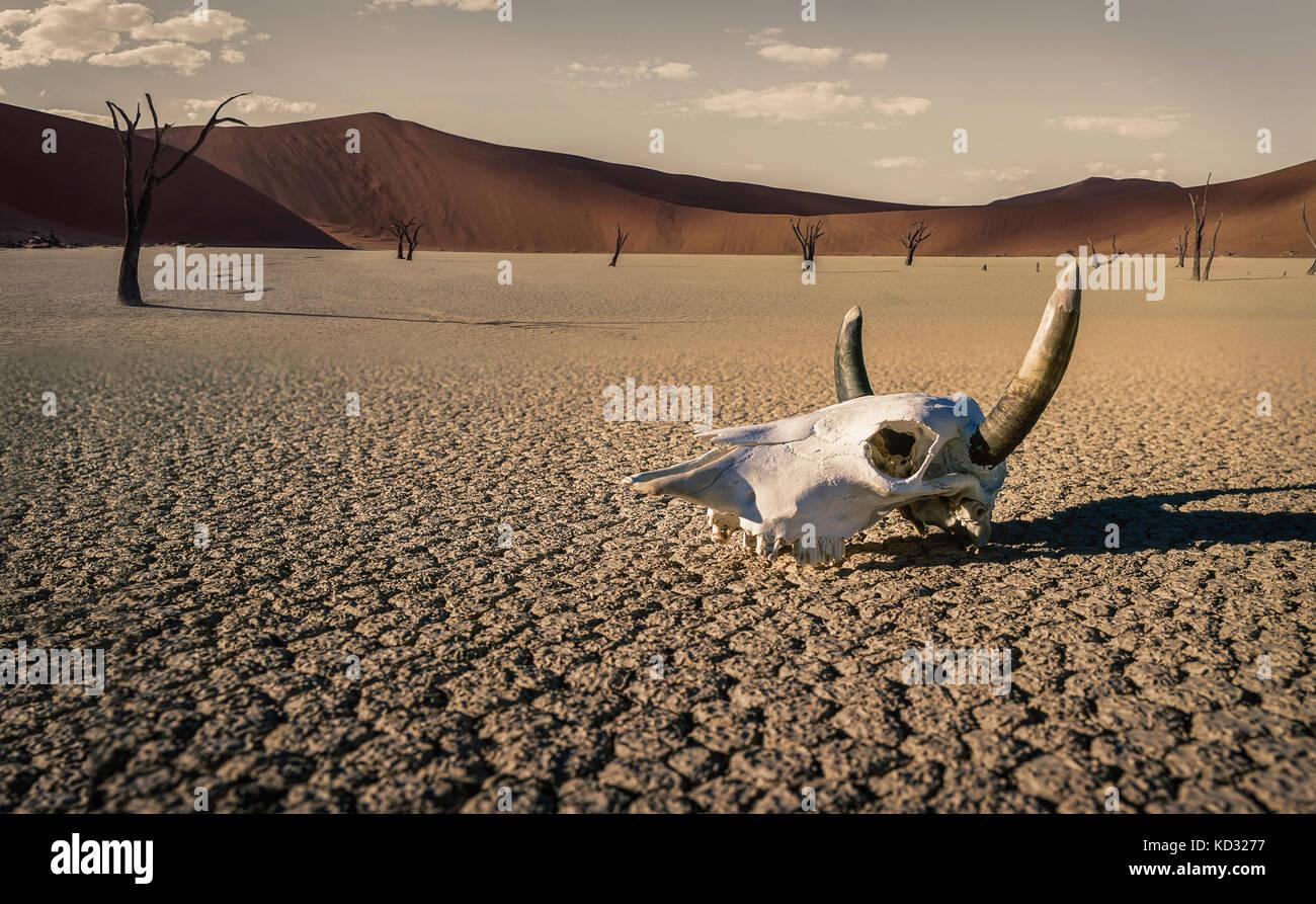 Cattle skull in desert, Windhoek, Namibia, Africa - Stock Image