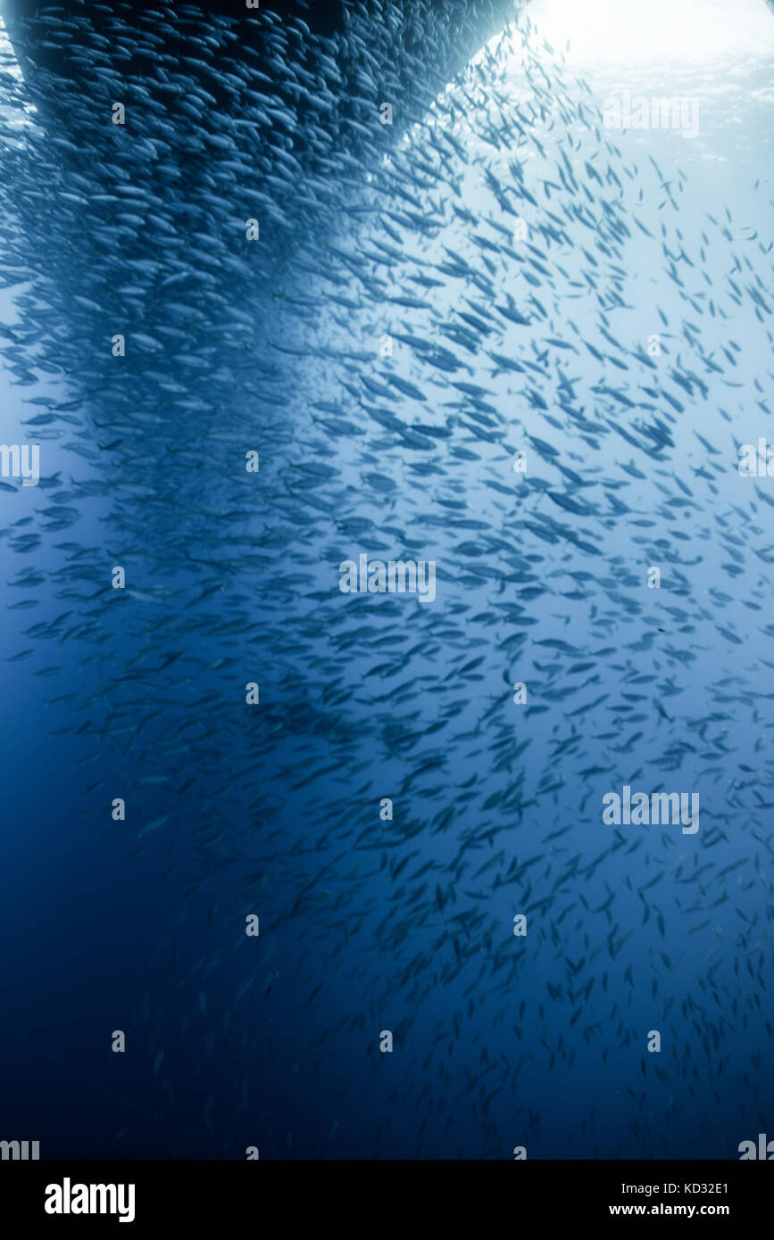 Anchovies and mackerel gather under boat, Guadalupe, Mexico - Stock Image