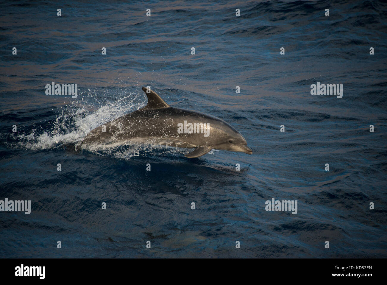 Bottlenose dolphins doing acrobatic jumps, Guadalupe, Mexico - Stock Image