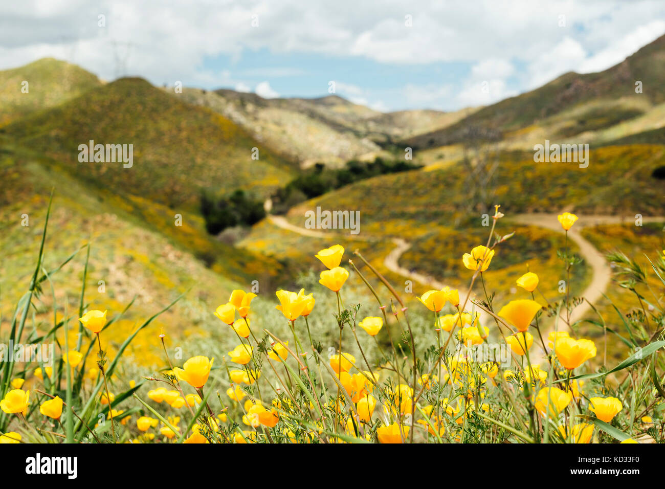 Close up of yellow californian poppies (Eschscholzia californica) in landscape, North Elsinore, California, USA - Stock Image