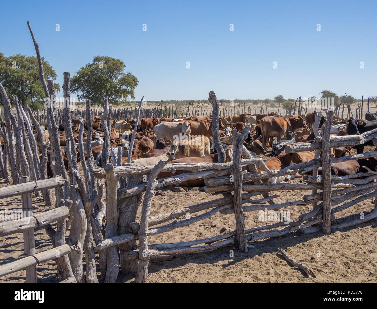 Traditional wooden cattle enclosure or pen with cow herd in the Kalahari desert of Botswana, Southern Africa - Stock Image