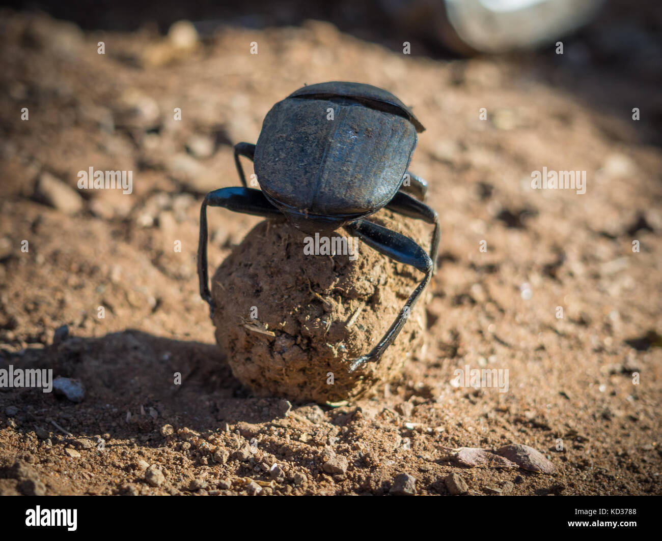African dung scarab beetle or Scarabaeus sacer rolling his dung ball, Chobe National Park, Botswana, Southern Africa - Stock Image