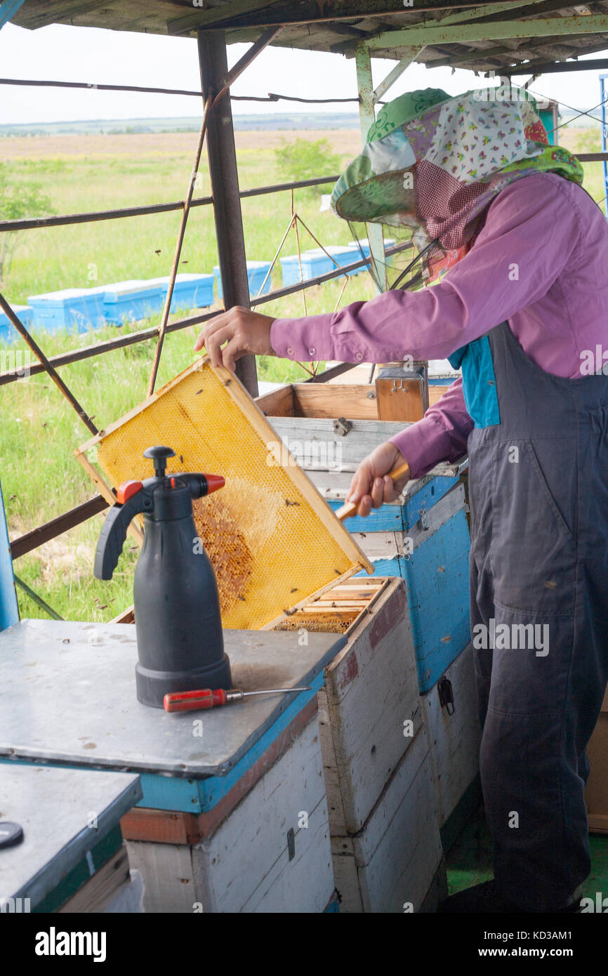 Beekeeper is working with bees and beehives on the apiary. Beekeeper on apiary. Beekeeper pulling frame from the - Stock Image