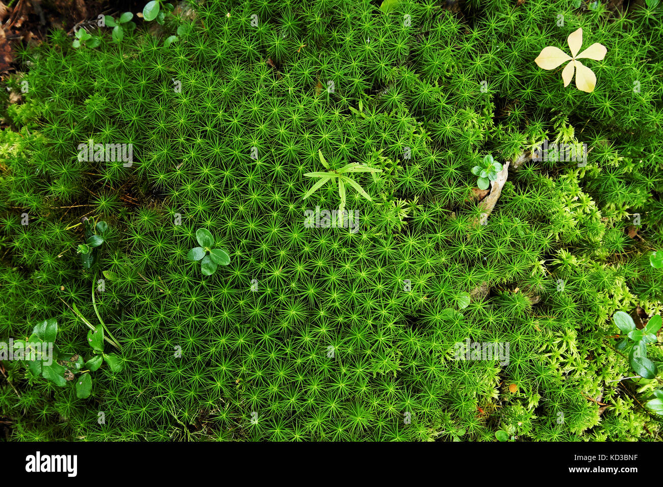 small plants among massive green moss in the form of asterisks - Stock Image