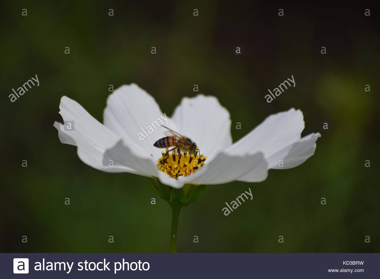 A bee sitting on a white flower in Eastern Cape, South Africa - Stock Image