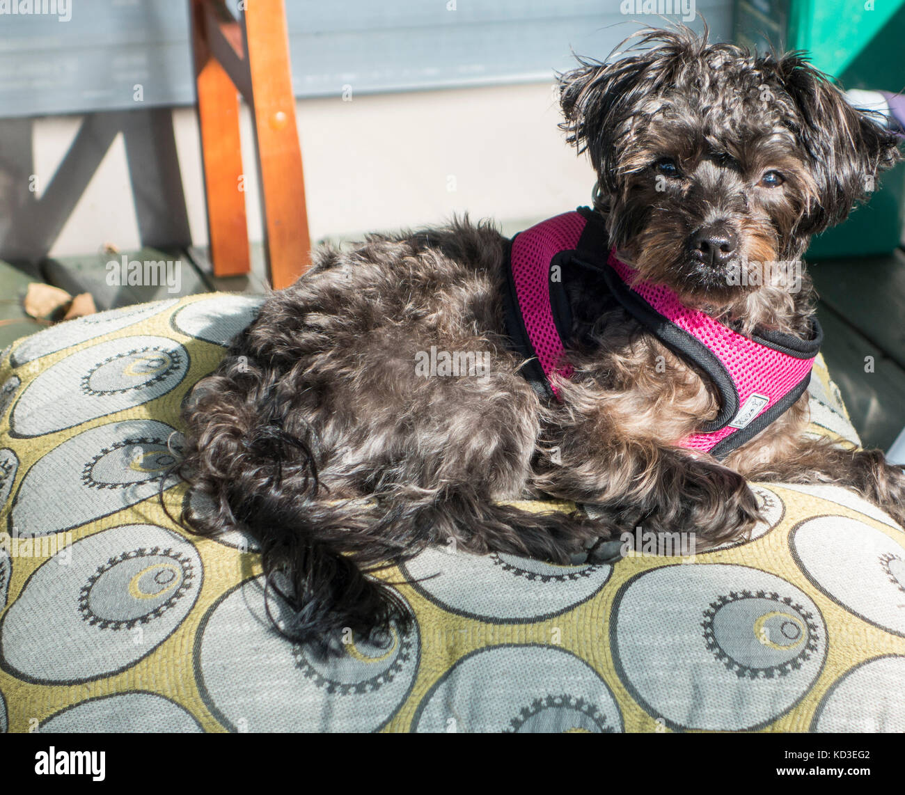 Yorkipoo crossbred dog lays on a pillow looking at the camera Stock Photo