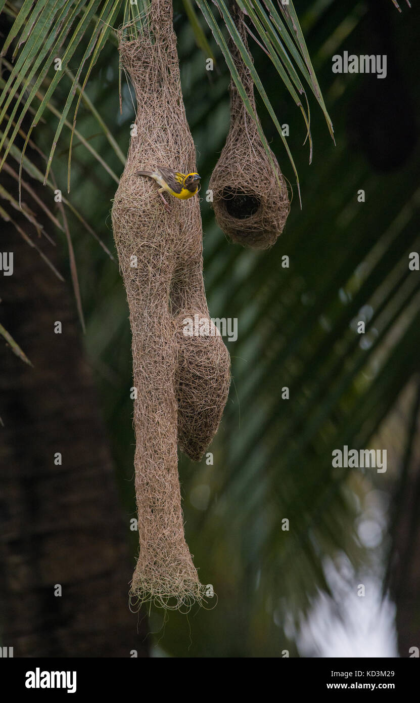 A Male Baya Weaver Bird Weaving The Nest For The Female To Lay
