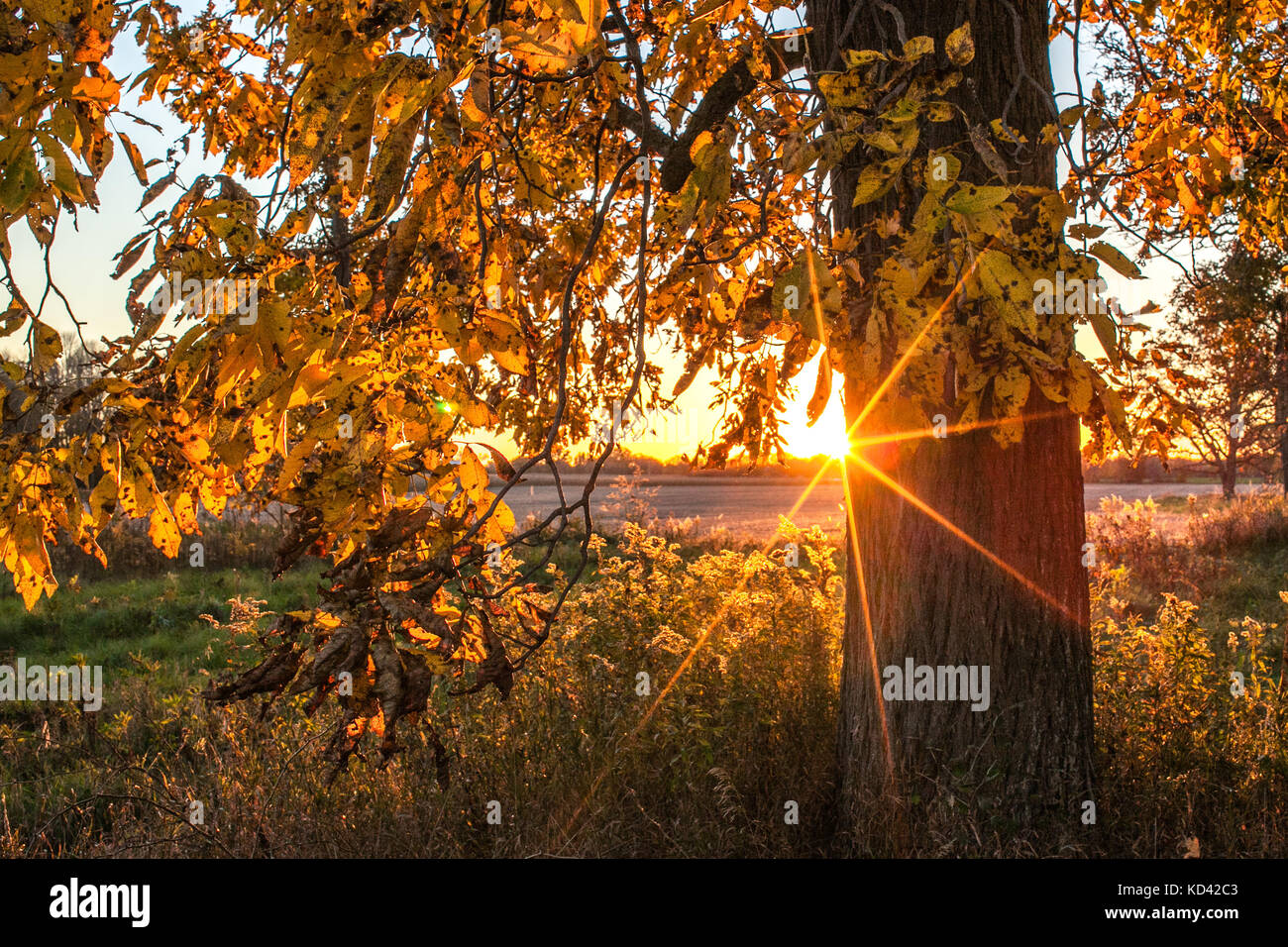 A sunset behind a shagbark hickory tree trunk creates a large sunburst, painting the scene with golden light. - Stock Image