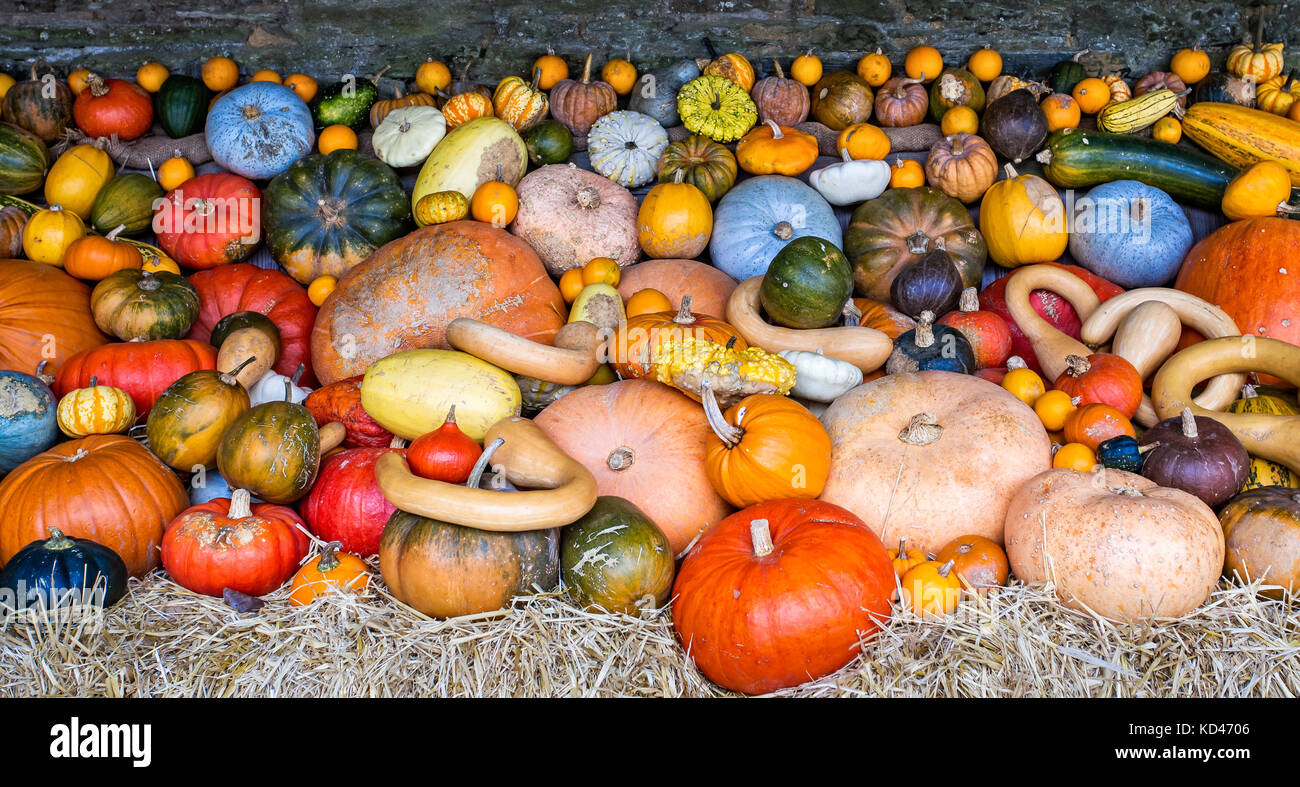 Large assorted collection of colourful pumpkins, squashes and gourds - Stock Image
