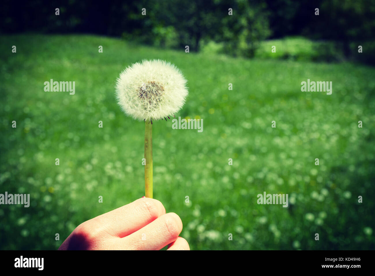 Woman holds a dandelion and blows on it. Woman hand holding a dandelion against the green maedow. Vignette, hight Stock Photo