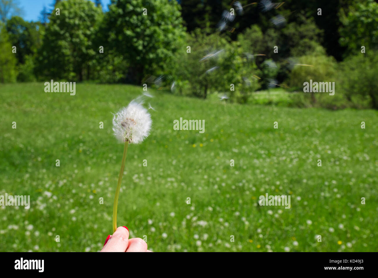 Woman holds a dandelion and blows on it. Woman hand holding a dandelion against the green maedow Stock Photo