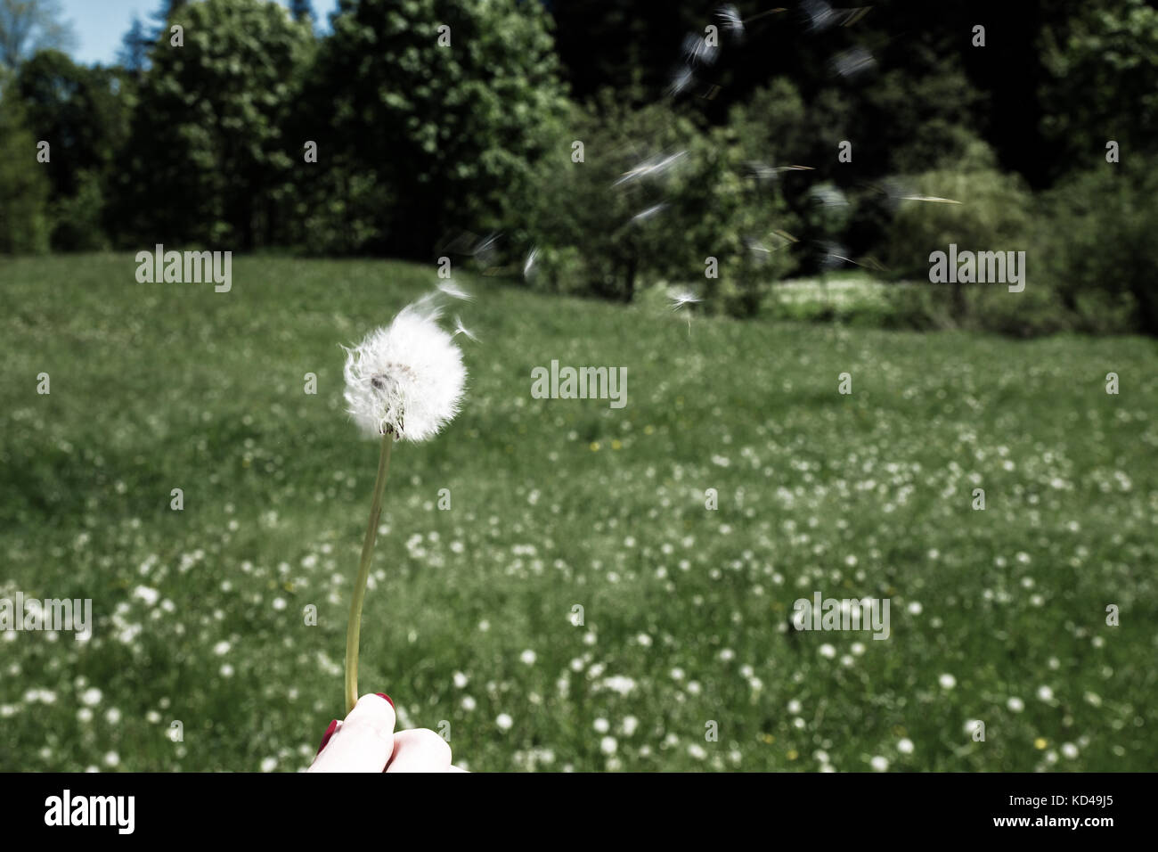 Woman holds a dandelion and blows on it. Woman hand holding a dandelion against the green maedow. Bleach photo Stock Photo