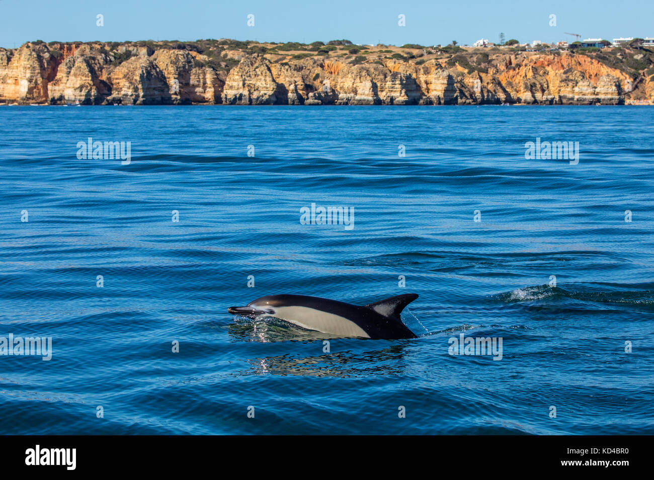 A Dolphin swimming in the Algarve, Portugal. - Stock Image