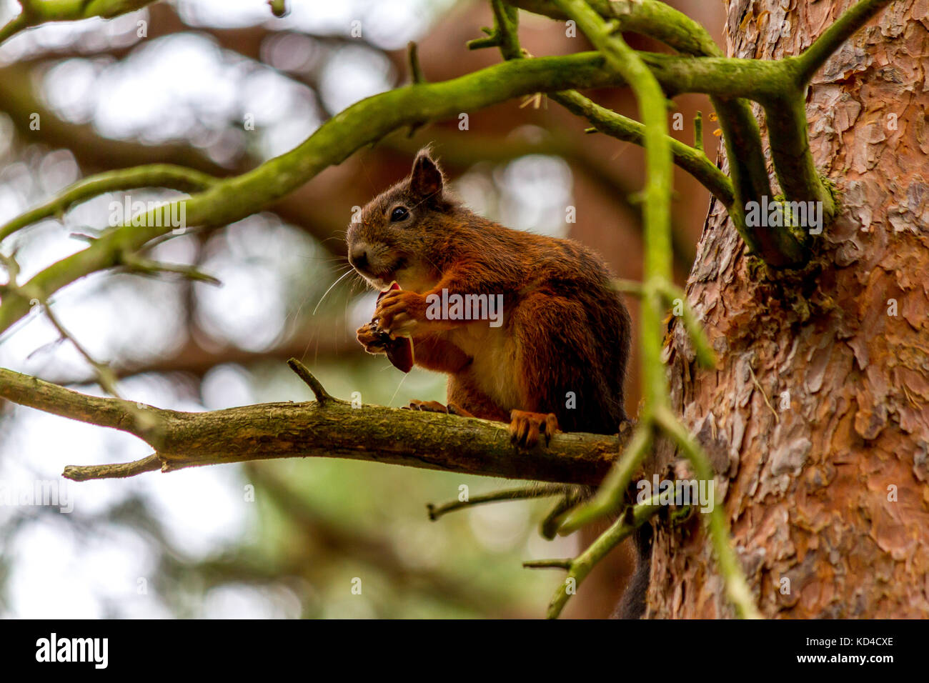 Red Squirrel sitting on a branch eating a nut at Formby Red Squirrel Reserve, Formby, Merseyside, U.K. 2017. - Stock Image