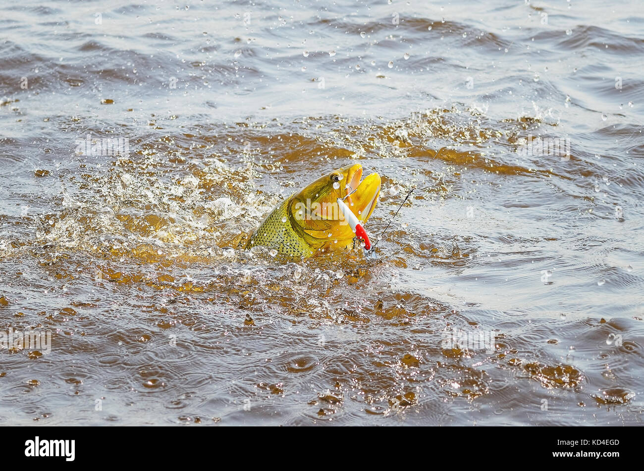 Dourado fish hooked by a artificial bait fighting and jumping out of water, beautiful golden fish, sport fishing Stock Photo