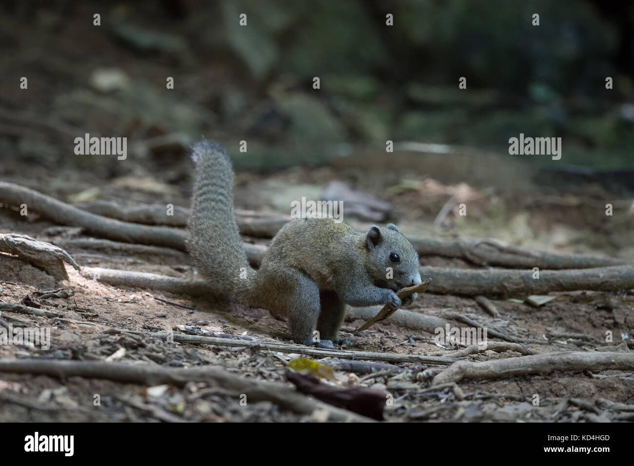 The grey-bellied squirrel (Callosciurus caniceps) is a species of rodent in the family Sciuridae. - Stock Image