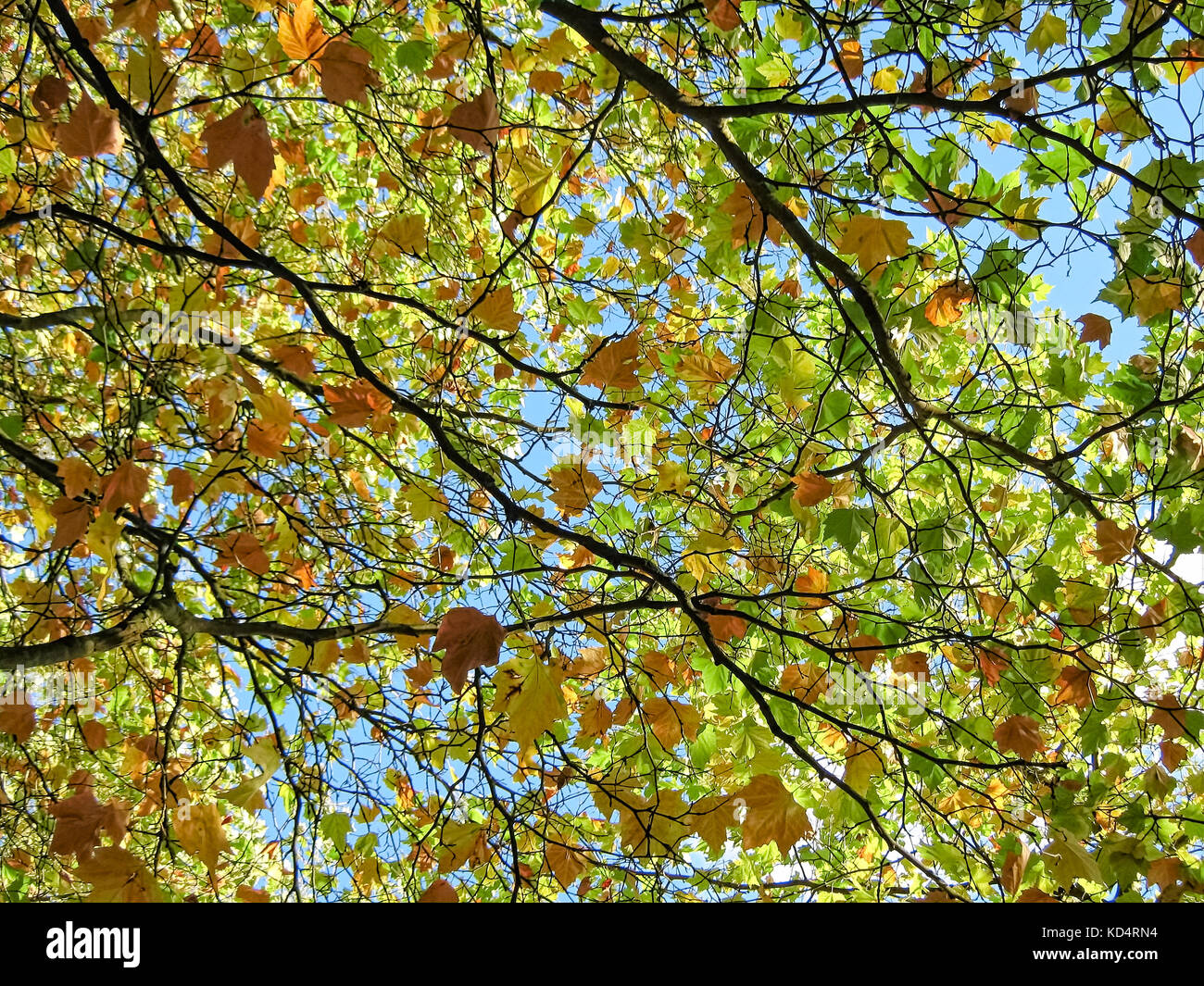 Canopy of colorful autumn leaves - Stock Image