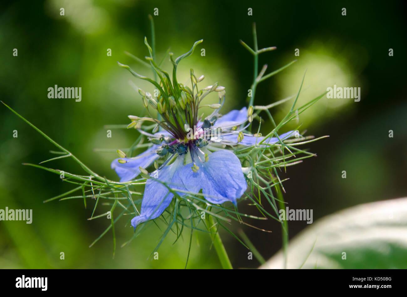 Blue flower, Nigella, or Persian Jewel, close up, Maine, USA - Stock Image