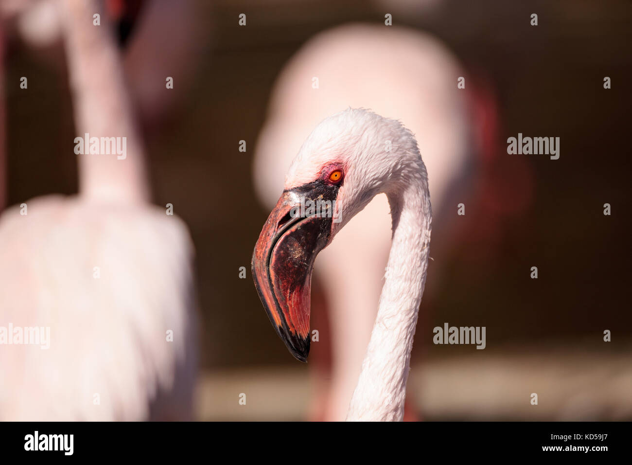 Pink lesser flamingo, Phoeniconaias minor, in the middle of a flock in India Stock Photo