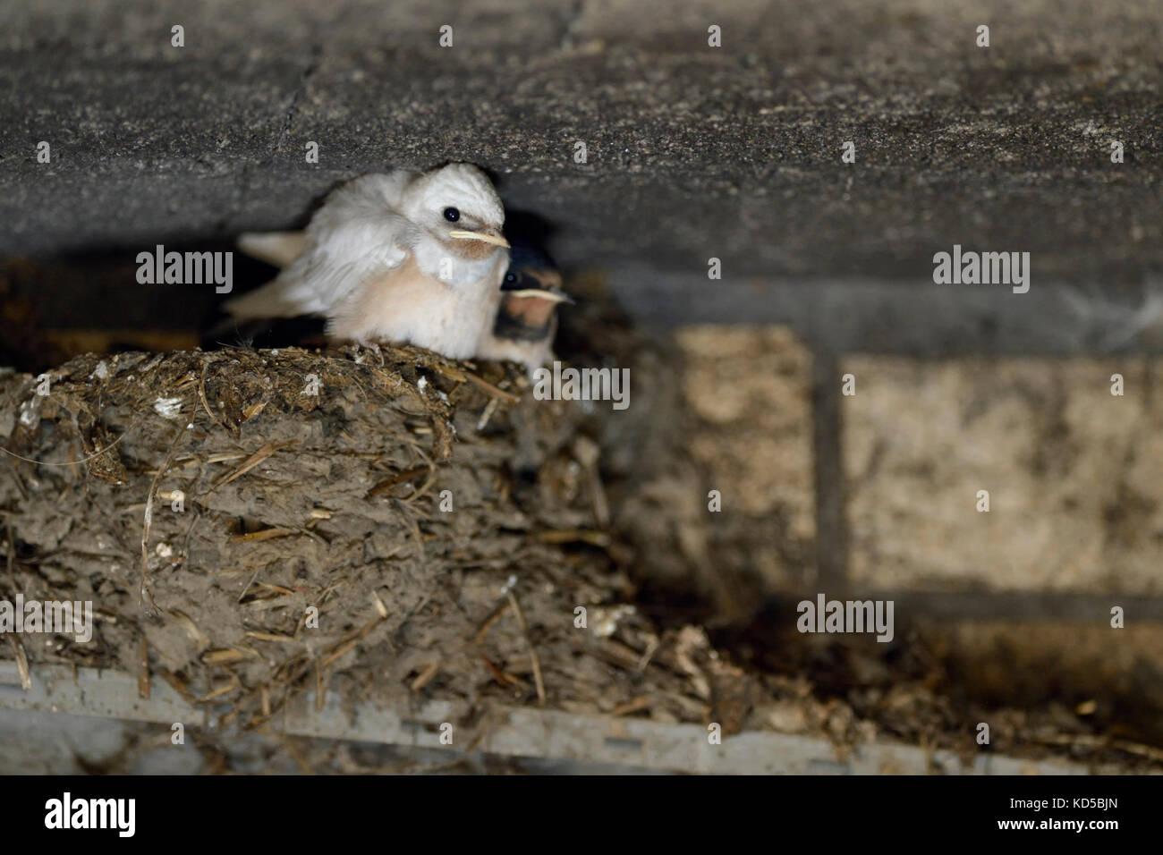 Barn Swallow / Rauchschwalbe ( Hirundo rustica ), chicks in nest, almost fledged, one with white plumage, rare gene - Stock Image