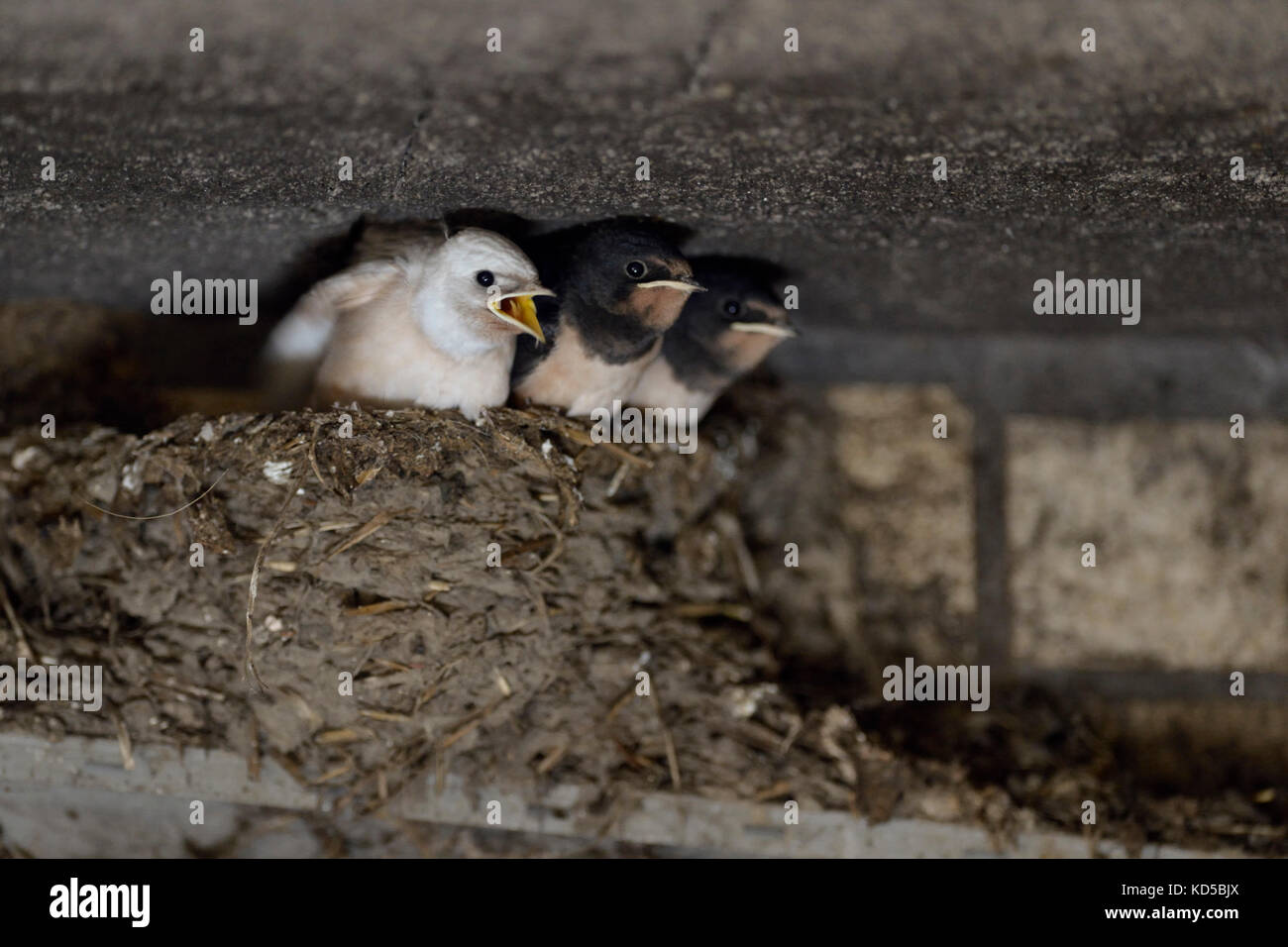 Barn Swallow / Rauchschwalbe ( Hirundo rustica ), begging chicks in nest, almost fledged, one with white plumage - Stock Image