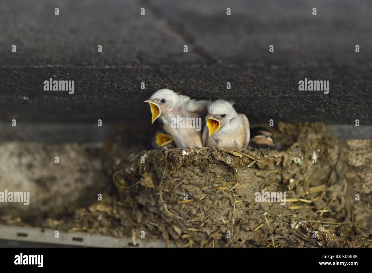 Barn Swallows / Rauchschwalben ( Hirundo rustica ), leucistic chicks in nest, white plumage, rare pigment defect, - Stock Image