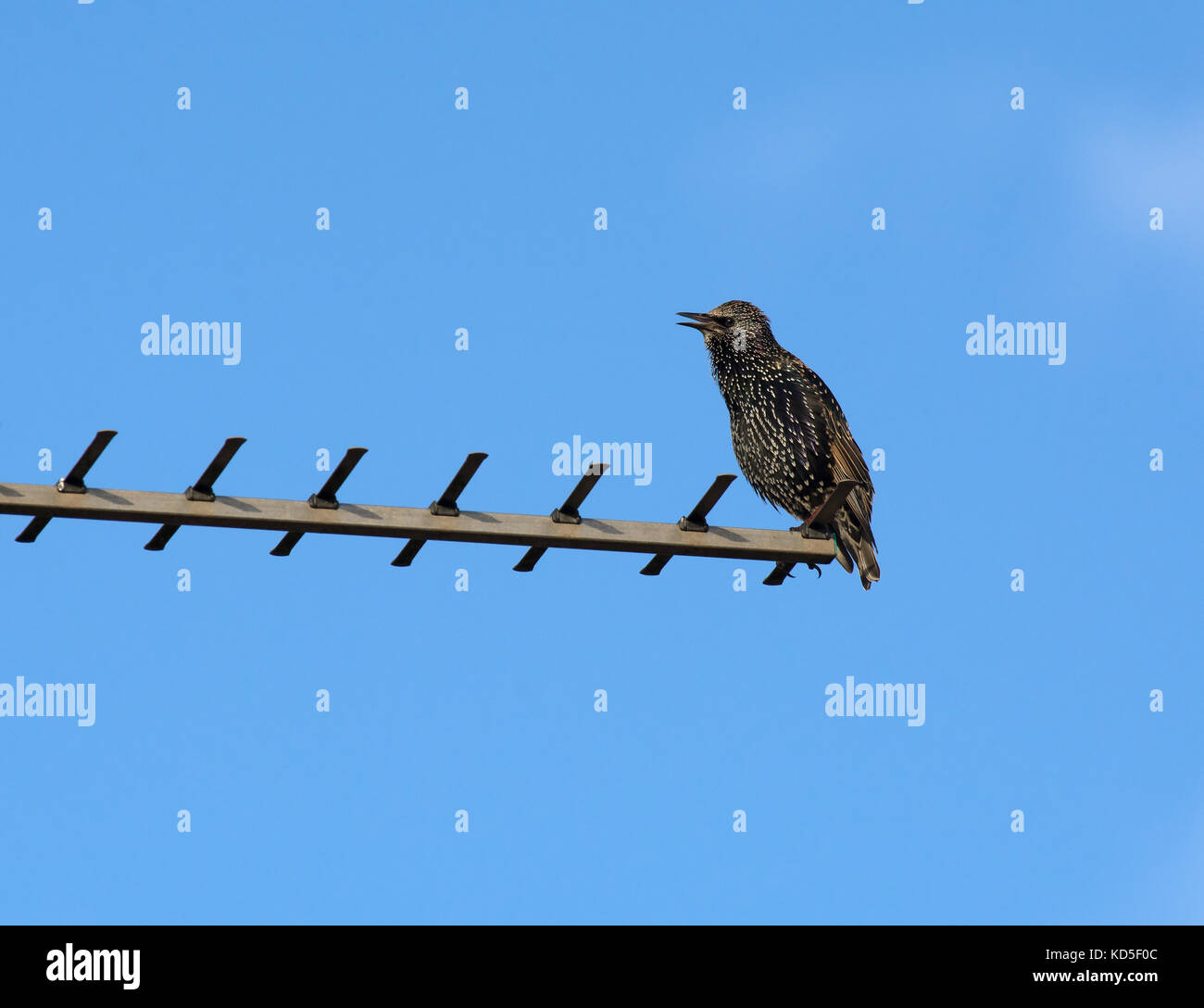 Common Starling, sturnus vulgaris, perched on television aerial, Dorset, UK - Stock Image