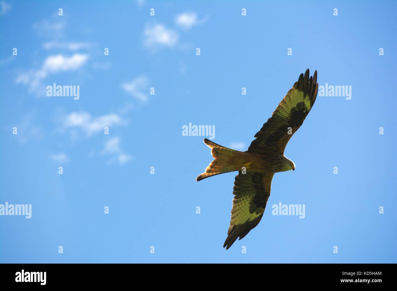 Red kite birds flying in the sky - Stock Image